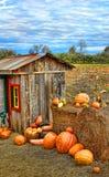 Tempo de colheita da abóbora Imagens de Stock Royalty Free