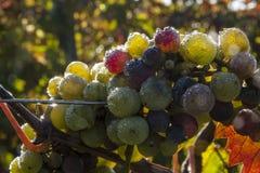 Tempo de colheita da uva Imagem de Stock Royalty Free