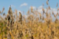 Tempo de colheita do feijão de soja imagens de stock