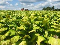 Tempo de colheita do tabaco fotografia de stock royalty free
