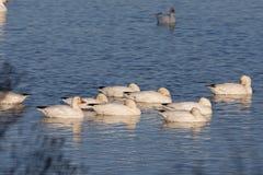 Tempo de descanso para gansos de neve Imagens de Stock Royalty Free