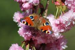 Tempo de mola BRITÂNICO da borboleta de pavão Imagens de Stock Royalty Free