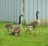 Tempo de mola da rivalidade de irmão dos gansos em Canadá Foto de Stock