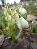 Tempo de mola das flores brancas Fotos de Stock