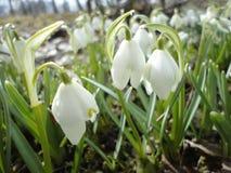 Tempo de mola das flores brancas Fotos de Stock Royalty Free