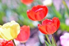 Tempo de mola das tulipas Foto de Stock