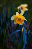 Tempo de mola dos narcisos amarelos do narciso com foco seletivo Fotografia de Stock