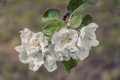Tempo de mola - uma árvore de maçã foto de stock