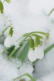 Tempo de Snowdrops na primavera Imagem de Stock