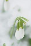 Tempo de Snowdrops na primavera Foto de Stock Royalty Free