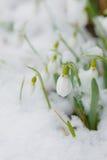 Tempo de Snowdrops na primavera Imagem de Stock Royalty Free
