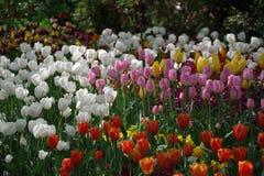 Tempo dei tulipani Fotografie Stock Libere da Diritti