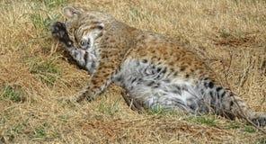 Tempo del bagno del gatto selvatico Fotografia Stock