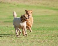 Tempo del gioco del cucciolo raddoppiato Immagine Stock Libera da Diritti