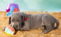 Tempo del pelo per un cucciolo di razza sulla sabbia Immagini Stock Libere da Diritti