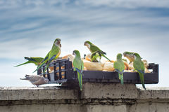 Tempo del pranzo dei pappagalli Fotografia Stock