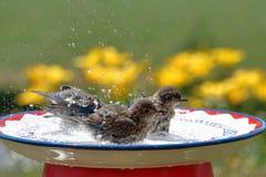 Tempo della spruzzata dell'uccellino azzurro Fotografie Stock Libere da Diritti