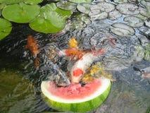 Tempo dello spuntino dei pesci di Koi Fotografia Stock