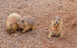 Tempo dello spuntino delle marmotte Immagine Stock Libera da Diritti