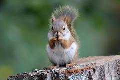 Tempo dello spuntino dello scoiattolo Fotografia Stock Libera da Diritti