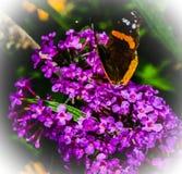 Tempo di alimentazione di ammiraglio Butterfly fotografie stock libere da diritti
