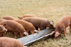 Tempo di alimentazione dei maiali Fotografia Stock Libera da Diritti