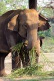 Tempo di alimentazione dell'elefante e del bambino della madre Immagine Stock