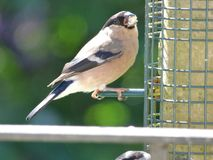 Tempo di alimentazione dell'uccello fotografia stock