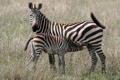 Tempo di alimentazione della zebra Fotografia Stock