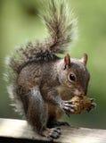 Tempo di alimentazione per uno scoiattolo Immagini Stock Libere da Diritti