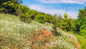 Tempo di primavera, giacimento di fiori bianchi ed uccelli del flyng Fotografie Stock