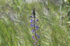 Tempo di primavera porpora dei fiori fotografie stock