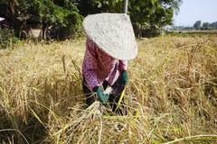 Tempo di raccolta del riso in Cambogia Immagini Stock