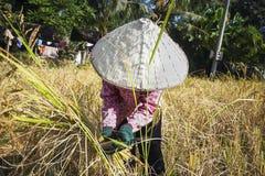 Tempo di raccolta del riso in Cambogia Fotografia Stock Libera da Diritti