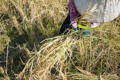 Tempo di raccolta del riso in Cambogia Fotografie Stock Libere da Diritti
