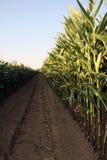 Tempo di raccolta della pianta di mais del cereale fotografia stock