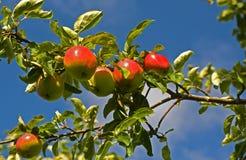 Tempo di raccolta nel frutteto. Fotografia Stock