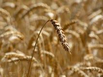 Tempo di raccolto del grano Fotografia Stock