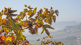 Tempo di raccolto dell'uva Fotografie Stock Libere da Diritti