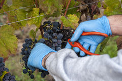 Tempo di raccolto dell'uva Fotografia Stock Libera da Diritti