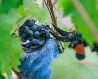 Tempo di raccolto in Toscana fotografia stock