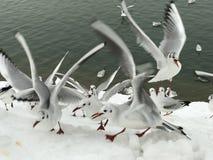 Tempo do almoço das gaivotas na neve Fotos de Stock Royalty Free