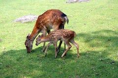 Tempo do almoço do cervo Foto de Stock