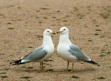 Tempo do amor das gaivotas Fotos de Stock Royalty Free