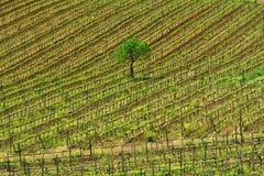 Tempo do vinhedo de Toscânia na primavera com árvores verdes e o céu azul imagens de stock