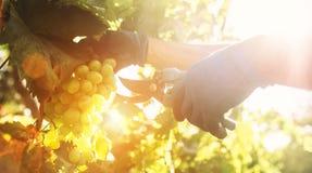 Tempo do vintage Feche acima das mãos da imagem com as tesouras que cortam grupos de uma uva fotografia de stock