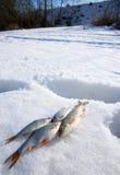 Tempo ensolarado, neve profunda e peixes pequenos Foto de Stock Royalty Free