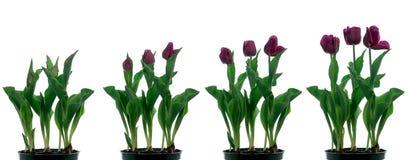 Tempo-intervallo del tulipano Fotografia Stock Libera da Diritti