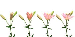 Tempo-lapso cor-de-rosa do lírio imagem de stock royalty free