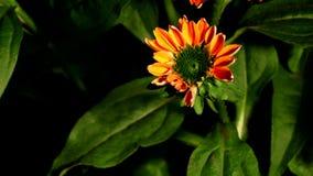 Tempo-lapso da flor do cone filme